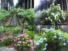 紫陽花各種