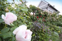 花遊庭のバラ