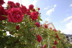 トレリスいっぱいのバラ