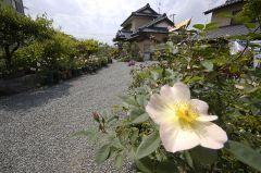 鈴木さんちのバラ