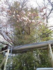 ハワイアンズの桜