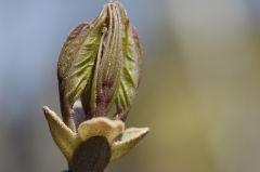 アオダモの新芽