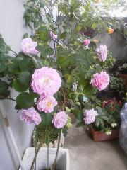 ベランダのバラたち