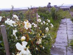 久之浜のバラ